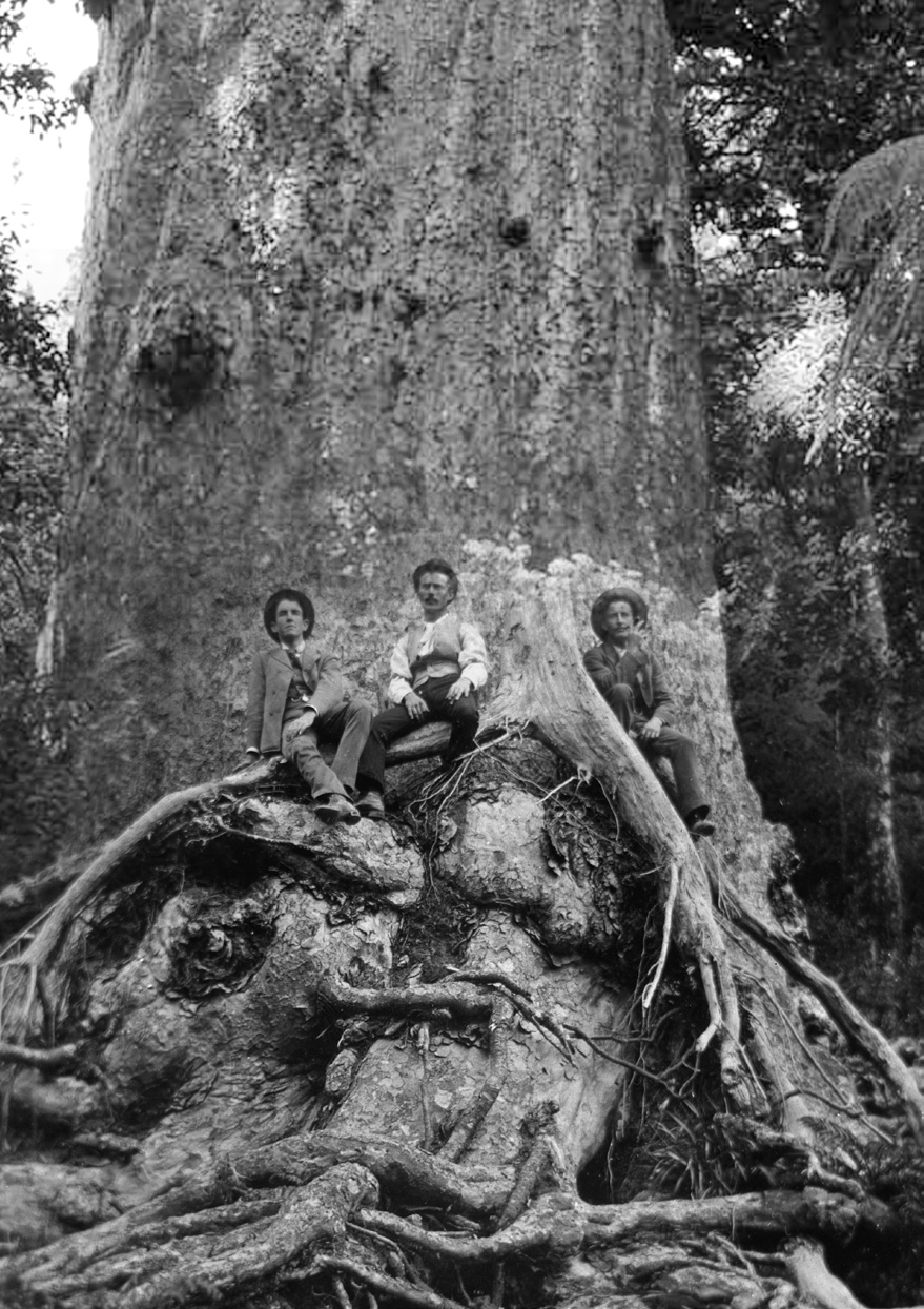 Giant kauri tree, Nihotupu bush. Girth of the tree is 52 feet (just under 16 metres), 1890s, West Auckland Heritage